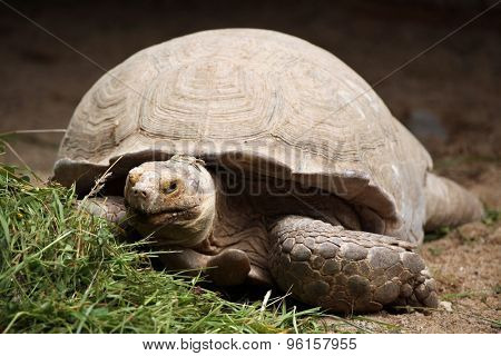 African spurred tortoise (Centrochelys sulcata), also known as the sulcata tortoise. Wild life animal.