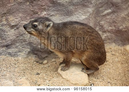 Rock hyrax (Procavia capensis), also known as the Cape hyrax. Wild life animal.