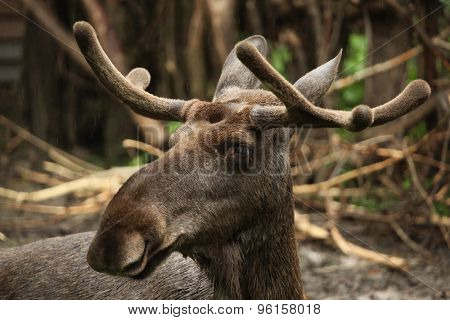 Moose (Alces alces), also known as the elk. Wild life animal.