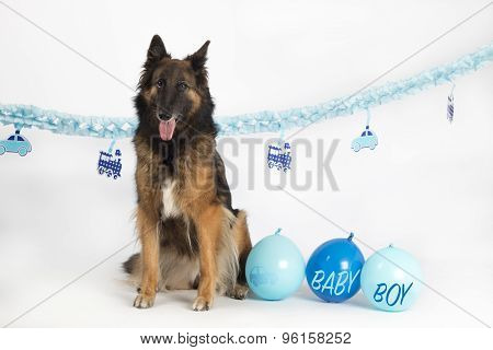 Dog, Belgian Shepherd Tervuren Sitting With Blue Newborn Baby Boy Balloons And Garlands, Isolated