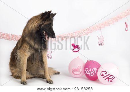 Dog, Belgian Shepherd Tervuren, Sitting With Pink Newborn Baby Girl Balloons And Garlands, Isolated