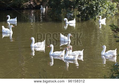 Flock Of Wild Geese Swimming