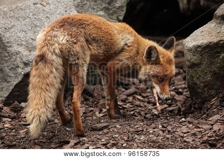 Red fox (Vulpes vulpes) eating chicken. Wild life animal.