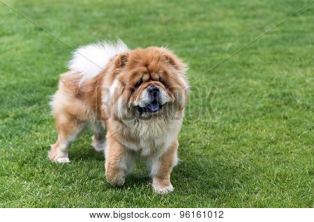 Chow -chow dog on the grass.
