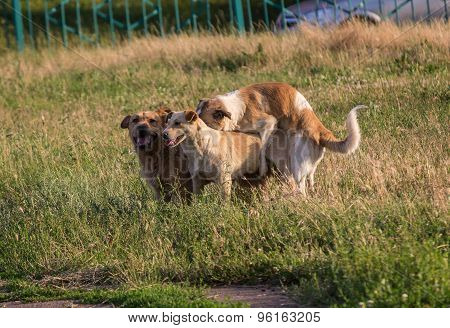 Stray Dogs Mating In The Town Lawn