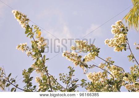 White Crepe Myrtle Blooms Background.
