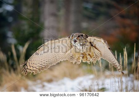Flying Eurasian Eagle Owl In Colorfull Winter Forest