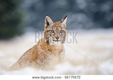 Eurasian Lynx Cub On Sitting Snowy Ground