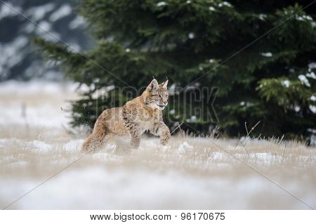 Running Eurasian Lynx Cub On Snowy Ground With Tree In Background