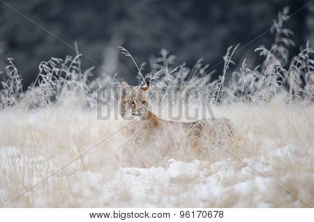 Eurasian Lynx Cub Hidden In High Yellow Grass With Snow