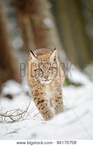 Eurasian Lynx Cub Walking On Snow In Forest