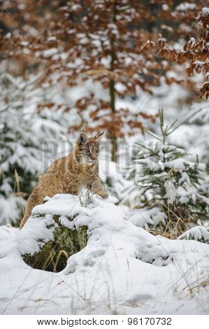 Eurasian Lynx Cub Lying In Winter Colorful Forest With Snow