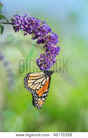 Monarch Butterfly (danaus Plexippus) On Butterfly Bush Flower