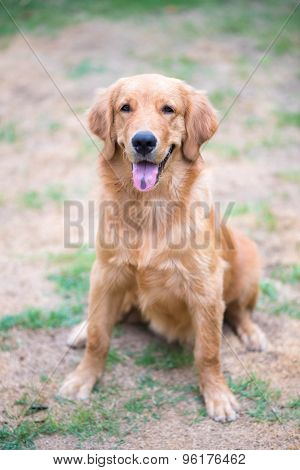Golden Retriever 6 Month Old Puppy