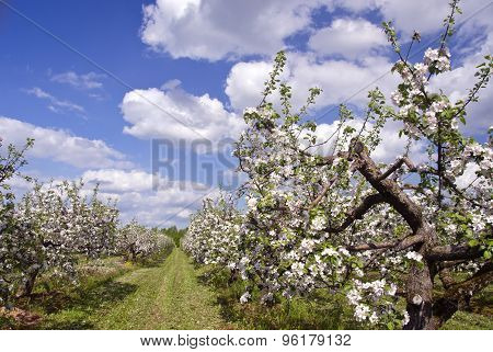 Beautiful Blossoming Spring Apple Tree Big Orchard Garden