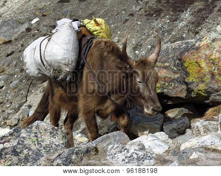 Dzo Carring Goods Towards Everest Base Camp