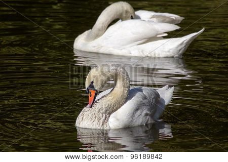 White swan in water