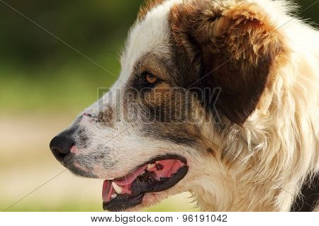 Detail On Romanian Shepherd Dog Face