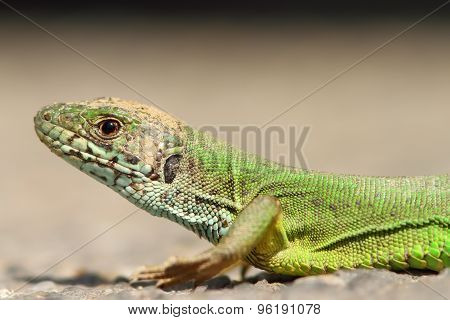 Green Lizard Portrait