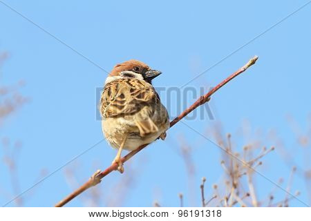 Male Sparrow On Twig Over Blue Sky