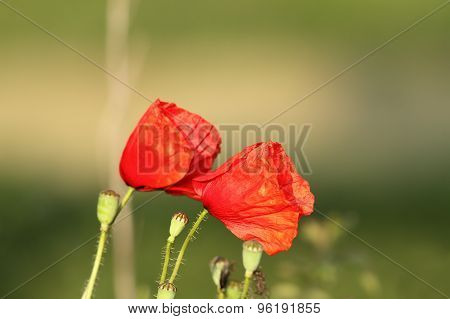 Wild Poppies Blown By The Wind