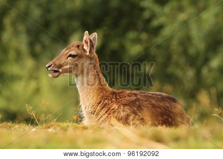 Young Fallow Deer Standing In The Grass