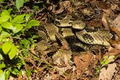 picture of coil  - A Timber Rattlesnake coiled on the ground - JPG