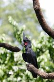 foto of palm cockatoo  - Palm Cockatoo - JPG
