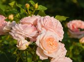 image of rose bud  - Pale pink roses and buds on a background of green leaves - JPG