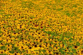 picture of black-eyed susans  - Images taken of an early summer field of the wild Black-Eyed-Susan flowers found in Downingtown, Chester County PA.