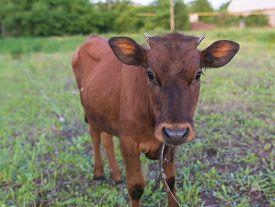 picture of calf  - pretty little calf standing alone in green pasture - JPG