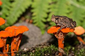 picture of baby frog  - A baby American Toad sitting on a mushroom - JPG