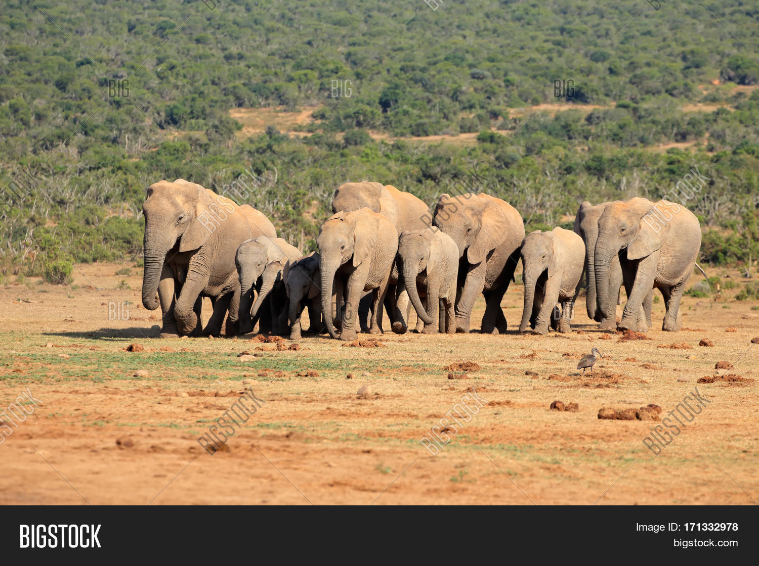 Herd of African elephants (Loxodonta africana) in natural ...