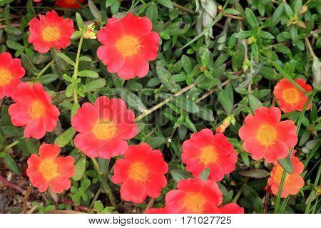Close up of Fresh Orange Portulaca Flowers