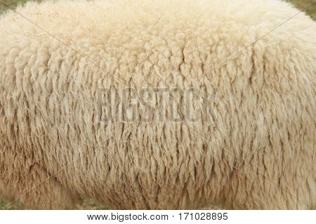 Close up of white sheep skin in Asian farm