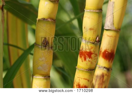 Yellow Sugar Cane And Leaf In The Countryside