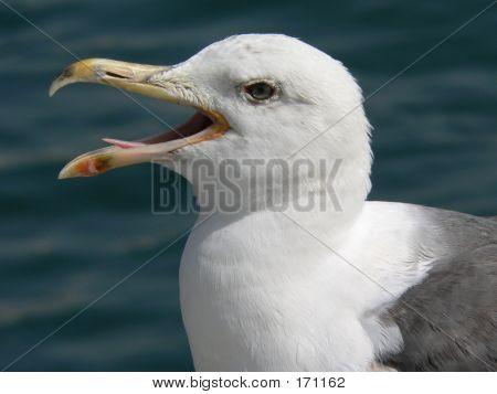 Panting Seagull