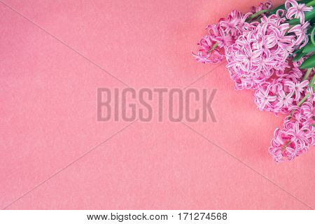 Beautiful spring holiday background. Fresh pink hyacinth on pink copy space groundwork.