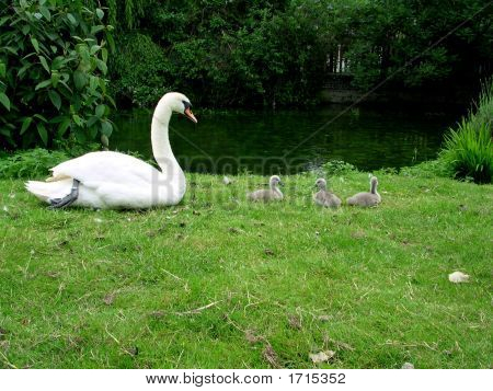 Mother And Baby Swans Resting