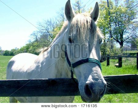 White Horse With Halter at Wooden Fence