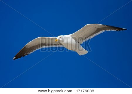 Sea Bird on Blue Sky Gliding in Wind