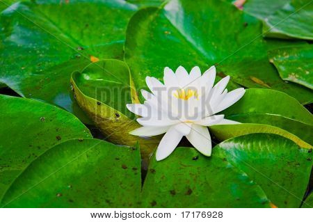 Vibrant Water Lilly