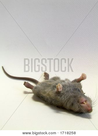 Young Rat -  Deceased #2