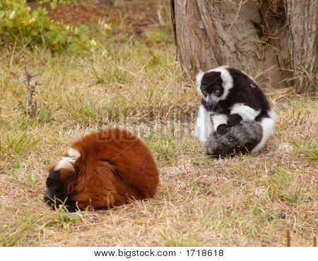 Lemurs On The Grass