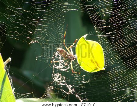 Spider Repairing Web With Leaf