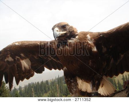 Close Up Eagle