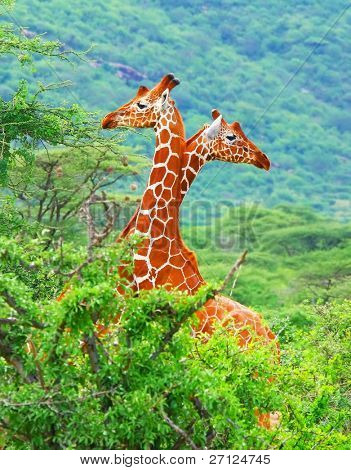Family of giraffes spotted in the woods of Kenya. Africa