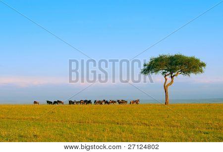 Herde von Gnus. Afrika. Kenia. Masai mara