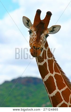 Giraffe in the wild. Kenya. Samburu national park.