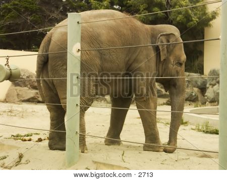 African Elephant Rear poster